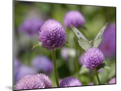 A Butterfly Alighted on a Thistle-Stephanie Lane-Mounted Photographic Print