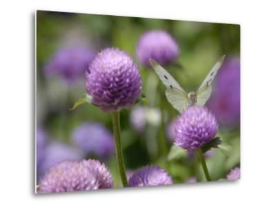 A Butterfly Alighted on a Thistle-Stephanie Lane-Metal Print