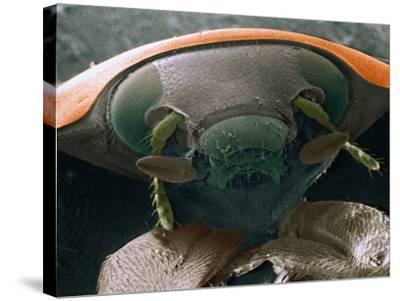 Microscopic View of Ladybug-Jim Zuckerman-Stretched Canvas Print