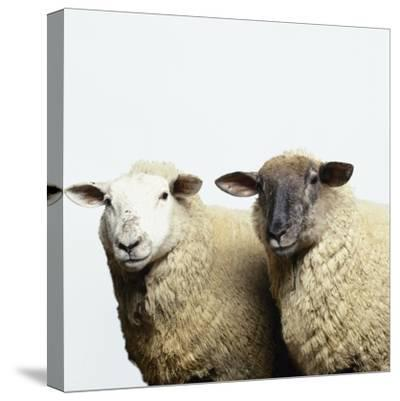 Sheep Standing Side by Side-Adrian Burke-Stretched Canvas Print