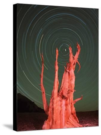 Star Trails and Bristlecone Pine Tree-Frank Lukasseck-Stretched Canvas Print