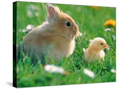 Chick and pygmy rabbit in the grass-Frank Lukasseck-Stretched Canvas Print