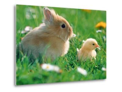 Chick and pygmy rabbit in the grass-Frank Lukasseck-Metal Print