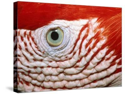 Eye of scarlet macaw-Theo Allofs-Stretched Canvas Print