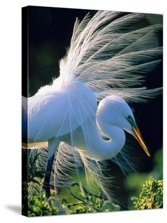 Great egret-Theo Allofs-Stretched Canvas Print