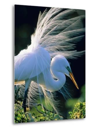 Great egret-Theo Allofs-Metal Print
