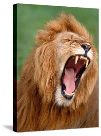 Male lion tearing his mouth open-Winfried Wisniewski-Stretched Canvas Print