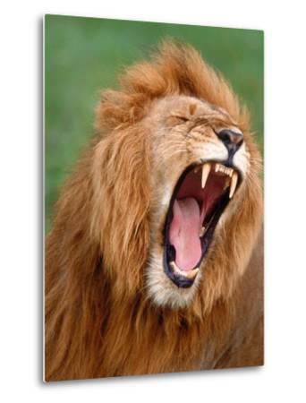 Male lion tearing his mouth open-Winfried Wisniewski-Metal Print