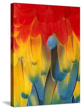 Red and yellow macaw-Theo Allofs-Stretched Canvas Print