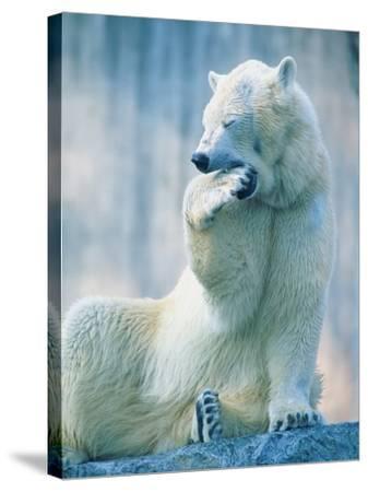 Polar bear yawning in zoo enclosure-Herbert Kehrer-Stretched Canvas Print