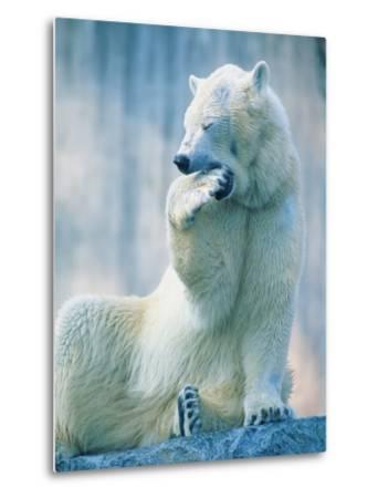 Polar bear yawning in zoo enclosure-Herbert Kehrer-Metal Print