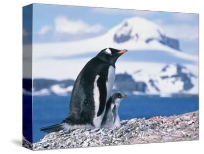 Mother and baby gentoo penguins-Kevin Schafer-Stretched Canvas Print