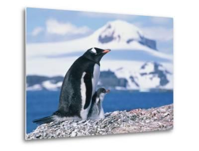 Mother and baby gentoo penguins-Kevin Schafer-Metal Print