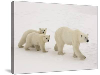 Polar Bear Mother and Cubs-Daniel Cox-Stretched Canvas Print