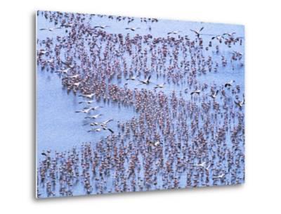 Great White Pelicans Fly, Flamingoes Feed in Lake Nakuru-John Eastcott & Yva Momatiuk-Metal Print