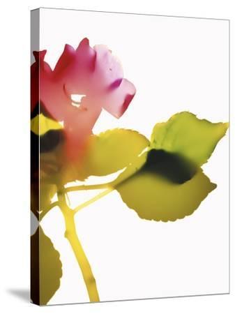 Impatiens-Envision-Stretched Canvas Print