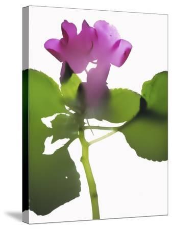 Purple Impatiens-Envision-Stretched Canvas Print