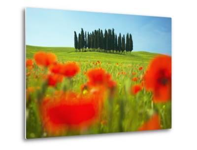 Italian Cypress Trees in Cornfield-Frank Krahmer-Metal Print