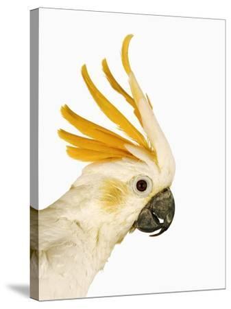 Cockatiel-Martin Harvey-Stretched Canvas Print