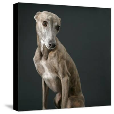 Whippet-Parque-Stretched Canvas Print