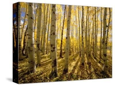 Aspen Trees in Autumn-John Eastcott & Yva Momatiuk-Stretched Canvas Print