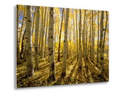 Aspen Trees in Autumn-John Eastcott & Yva Momatiuk-Metal Print