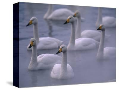 Whooper Swans in Water--Stretched Canvas Print
