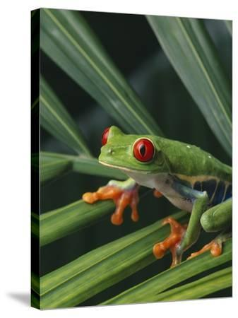 Red Eyed Tree Frog on Plant--Stretched Canvas Print