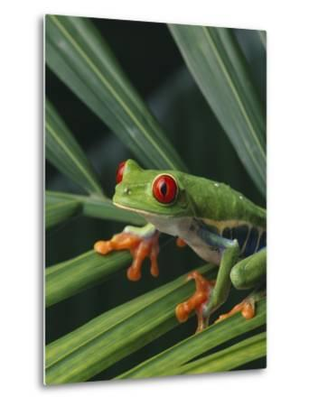 Red Eyed Tree Frog on Plant--Metal Print