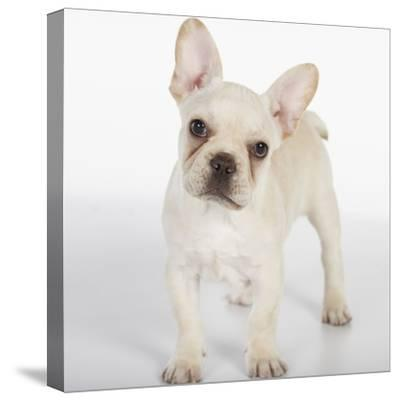 French Bulldog--Stretched Canvas Print