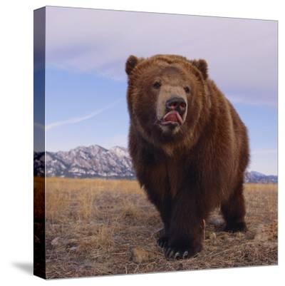 Grizzly Licking Its Chops--Stretched Canvas Print