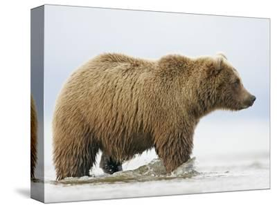 Shaggy Brown Bear in Stream-Arthur Morris-Stretched Canvas Print