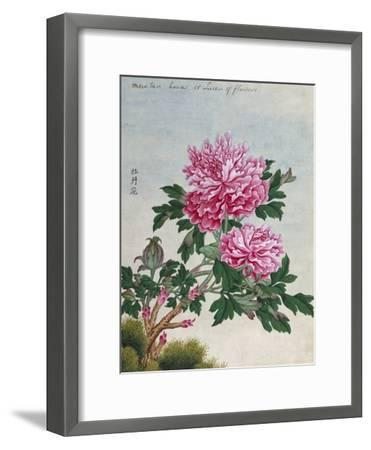 Chinese Watercolor of Pink Peonies--Framed Giclee Print