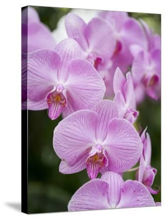 Rare, beautiful orchids bloom in a Florida garden-Dana Hoff-Stretched Canvas Print