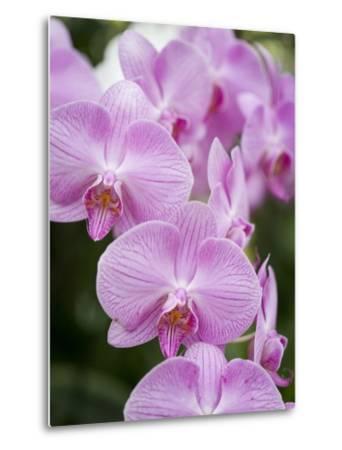 Rare, beautiful orchids bloom in a Florida garden-Dana Hoff-Metal Print