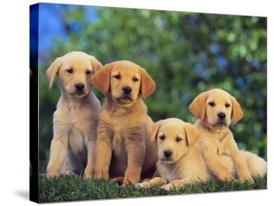 Puppies--Stretched Canvas Print