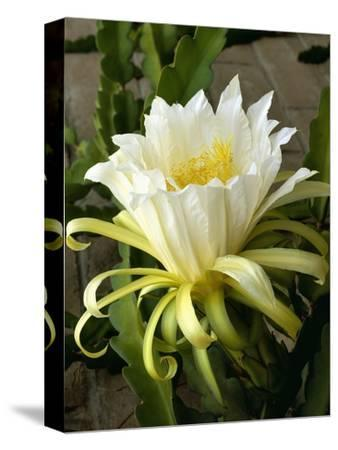 Climbing Cactus Flower--Stretched Canvas Print