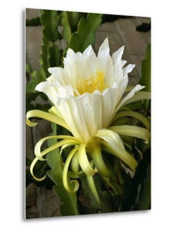 Climbing Cactus Flower--Metal Print