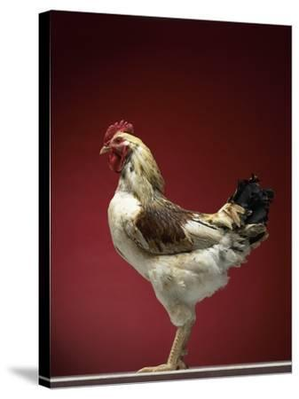 Rooster-Adrianna Williams-Stretched Canvas Print