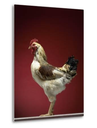 Rooster-Adrianna Williams-Metal Print