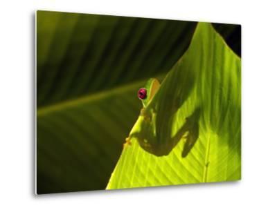 Red-eyed Tree Frog on Leaf-Keren Su-Metal Print