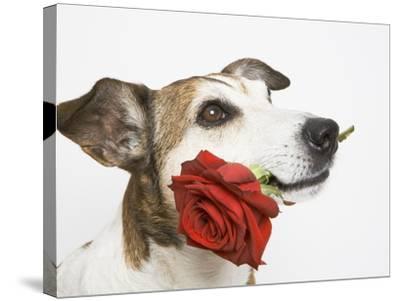 Dog with Red Rose-Ursula Klawitter-Stretched Canvas Print