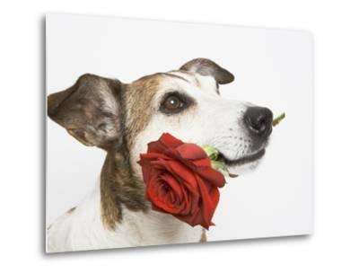 Dog with Red Rose-Ursula Klawitter-Metal Print