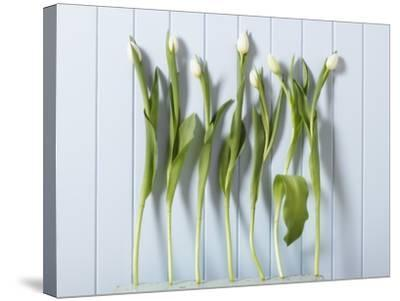 White Tulips in a Row--Stretched Canvas Print