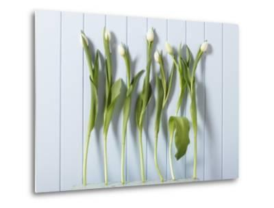White Tulips in a Row--Metal Print