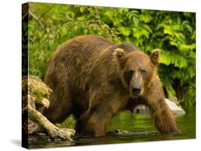 Brown Bear Fishing For Salmon-Blaine Harrington-Stretched Canvas Print