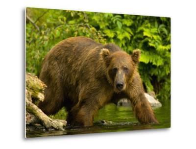 Brown Bear Fishing For Salmon-Blaine Harrington-Metal Print