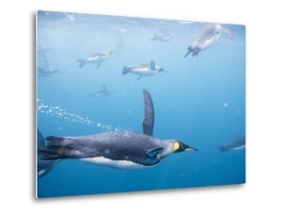 King Penguins Underwater-Paul Souders-Metal Print
