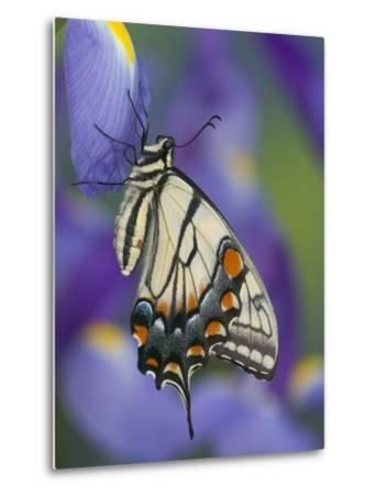 Eastern Tiger Swallowtail at Rest on a Dutch Iris-Darrell Gulin-Metal Print