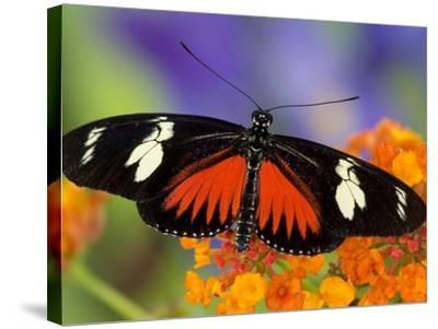 Heliconius Doris in Red Phase Resting on Lantana-Darrell Gulin-Stretched Canvas Print